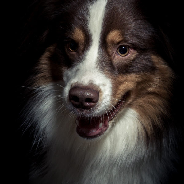 hund,Haustier,Border Collie,Studio,Fotografie,Shooting,Düsseldorf