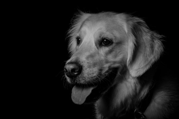 Hund,Haustier,Fotografie,Schwarzweiss,FineArt,Shooting,Studio