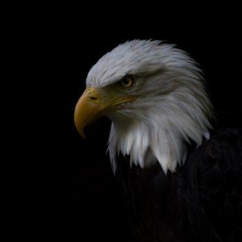Adler -Portrait