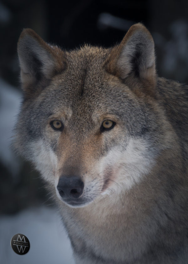 Wolf im Wildpark Granat
